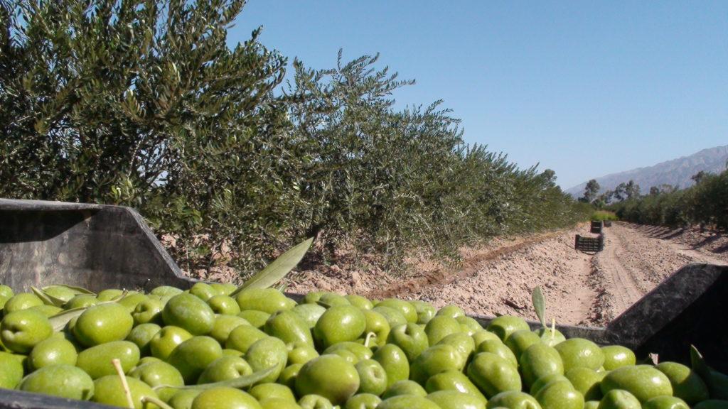 Европейское оливковое масло может стать дефицитом